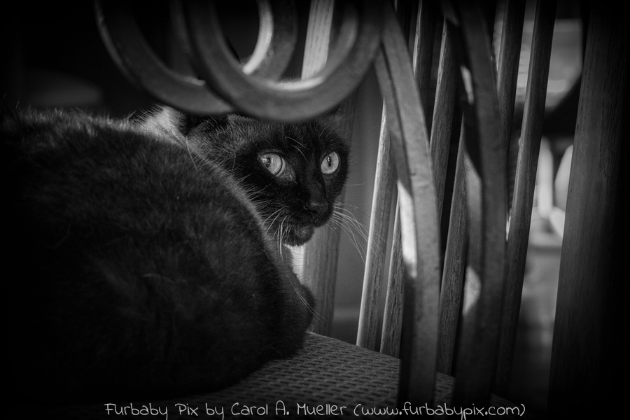 siamese cat black and white photograph cat photographer furbaby pix