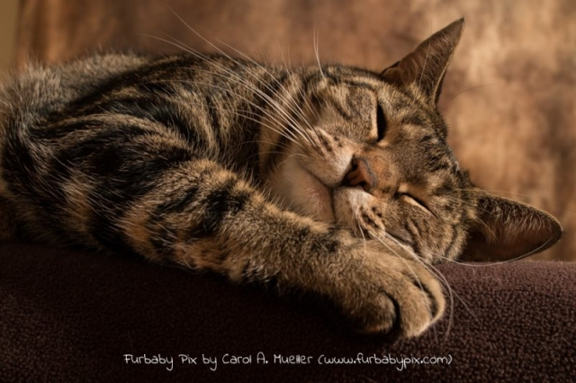 tabby is cat napping cat photographer furbaby pix Jacksonville Florida