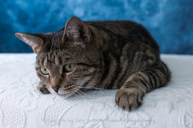 cat photo of tabby jacksonville florida furbaby pix cat photographer