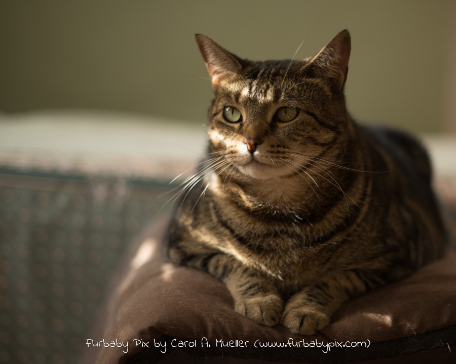 tabby olive green background furbaby pix cat photograph in Jacksonville Florida