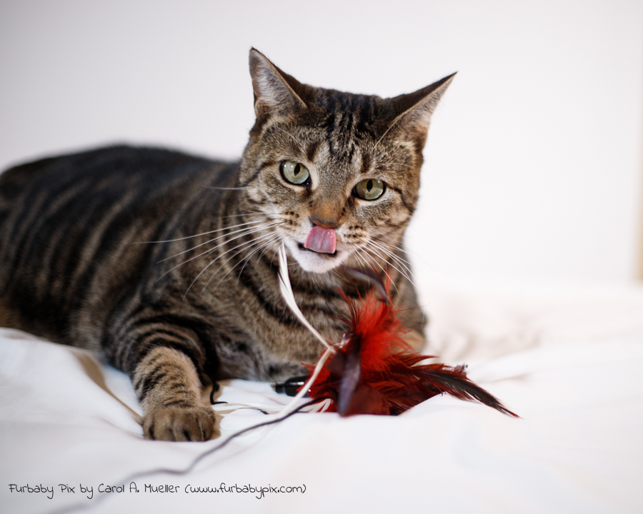 tabby white background tongue out playing furbaby pix cat photograph in Jacksonville Florida
