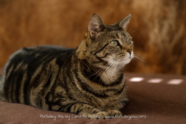 Furbaby pix tabby cat photo Jacksonville Florida Old Ortega pet photographer