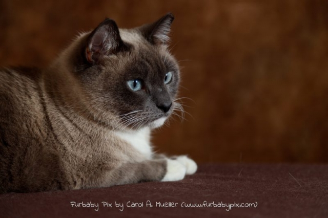 profile siamese cat brown background cat photographer furbaby pix Old Ortega