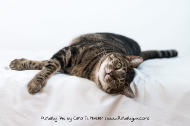 tabby white background furbaby pix cat photographer in Jacksonville Florida
