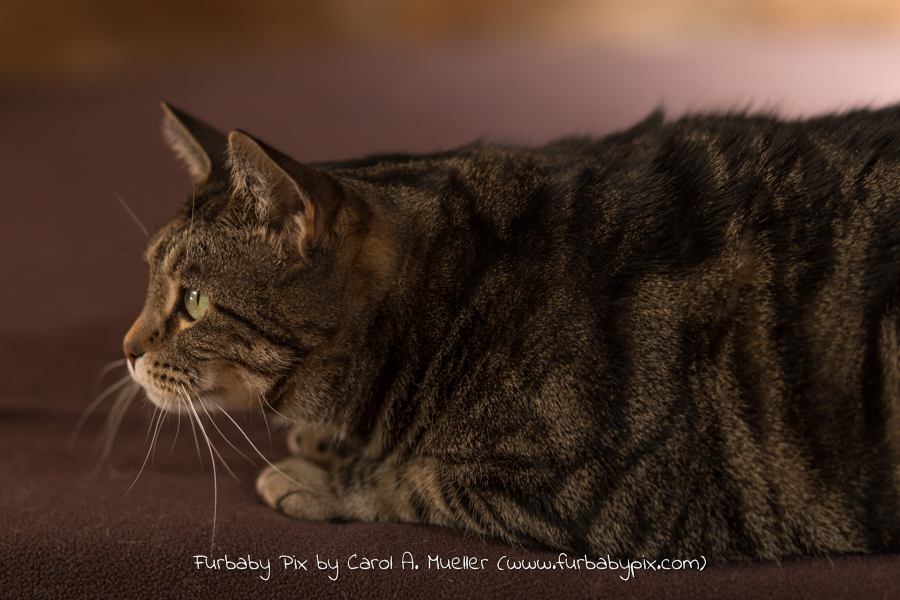 tabby cat brown background photograph cat photographer furbaby pix
