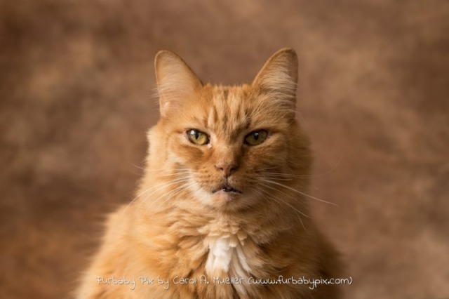 headshot Orange Siberian brown background furbaby pix cat photograph in Jacksonville Florida Ortega