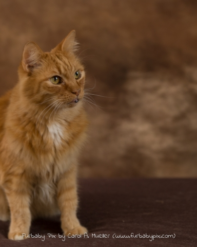Orange Siberian brown background furbaby pix cat photographer in Jacksonville Florida