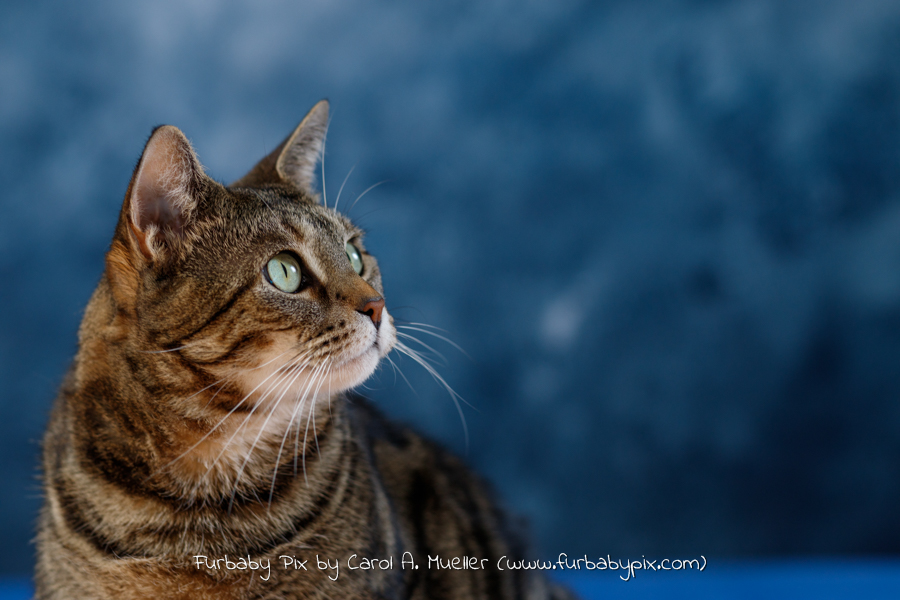 tabby blue background furbaby pix cat photographer in Jacksonville Florida