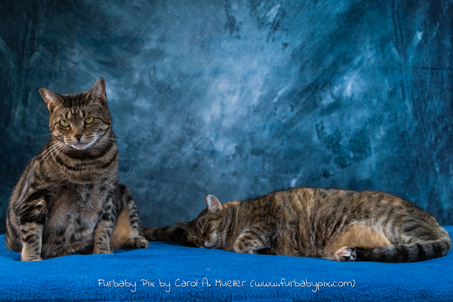 two tabbies blue background furbaby pix cat photograph in Jacksonville Florida