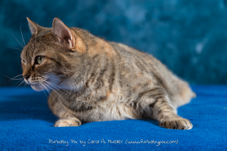 tabby blue background furbaby pix cat photograph in Jacksonville Florida Ortega