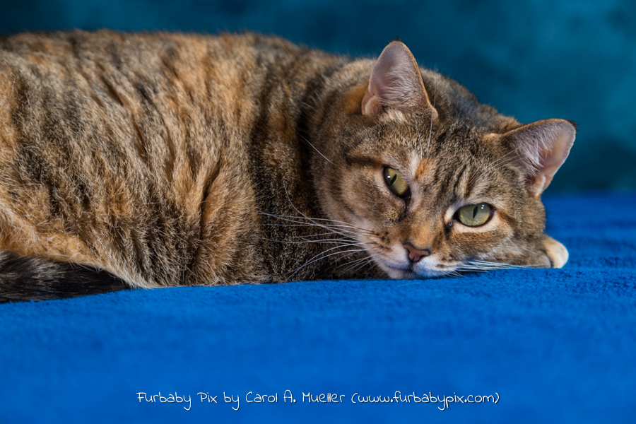 profile tabby cat blue background cat photographer furbaby pix
