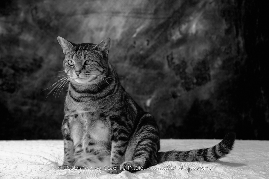 tabby cat black and white photograph cat photographer furbaby pix Jacksonville Florida