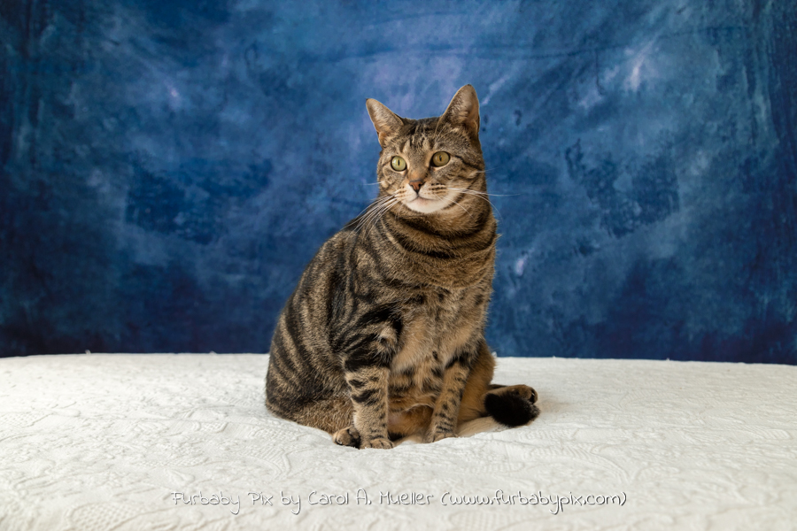 tabby blue background furbaby pix cat photograph in Jacksonville Florida