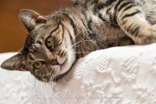 tabby furbaby pix cat photographer in Jacksonville Florida
