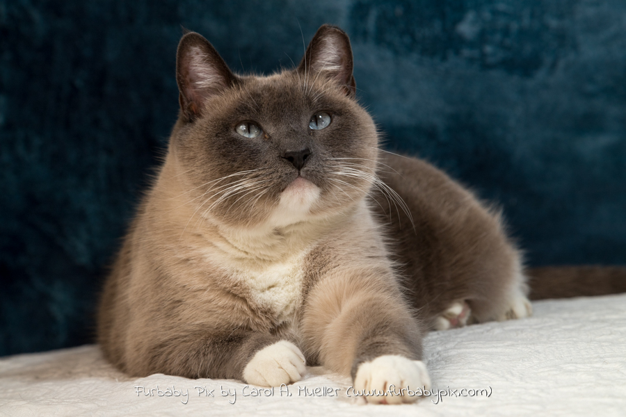 profile siamese cat blue background cat photographer furbaby pix Florida