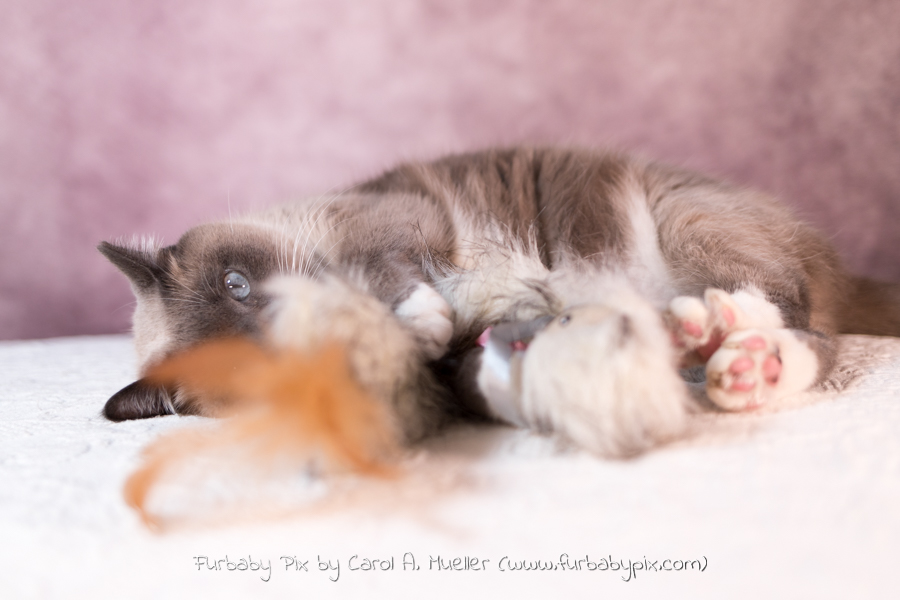 cute siamese cat playing pink background cat photographer furbaby pix Jacksonville Florida