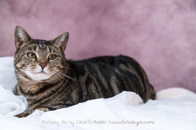 tabby pink background furbaby pix cat photographer in Jacksonville Florida