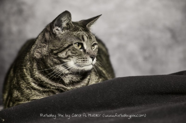 tabby cat black and white photograph cat photographer furbaby pix