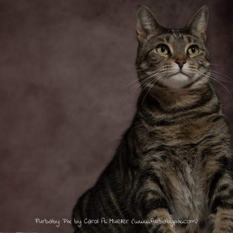 tabby dark pink background furbaby pix cat photographer in Jacksonville Florida