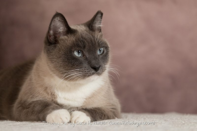 adorable siamese cat photo pink background cat photographer furbaby pix