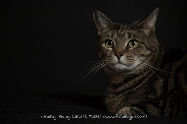 tabby black background furbaby pix cat photo in Jacksonville Florida