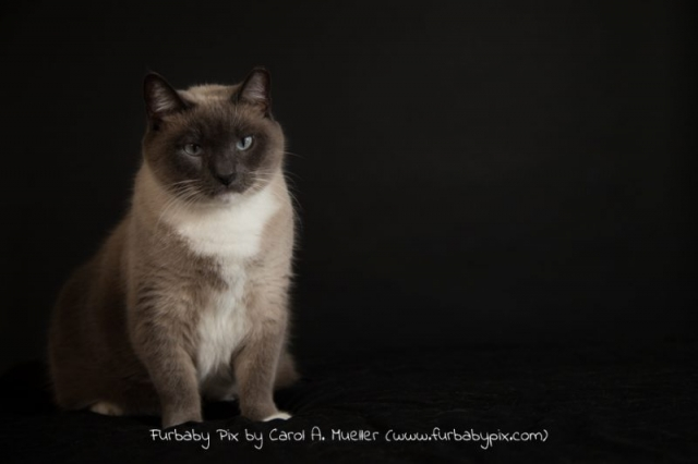 cute siamese cat photographer Jackvsonville Florida furbaby pix