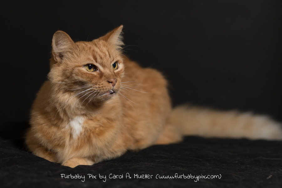 Orange Siberian furbaby pix cat photographer in Jacksonville Florida